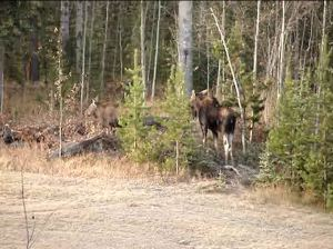 Cow and calf moose Oct